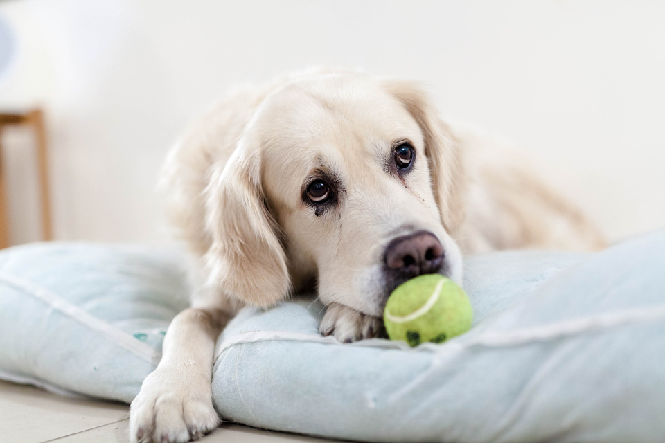 Golden retriever dog with a tennis ball in its mouth
