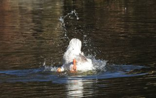 Goose tipped head down in the water