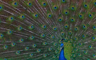 Peacock tail spread