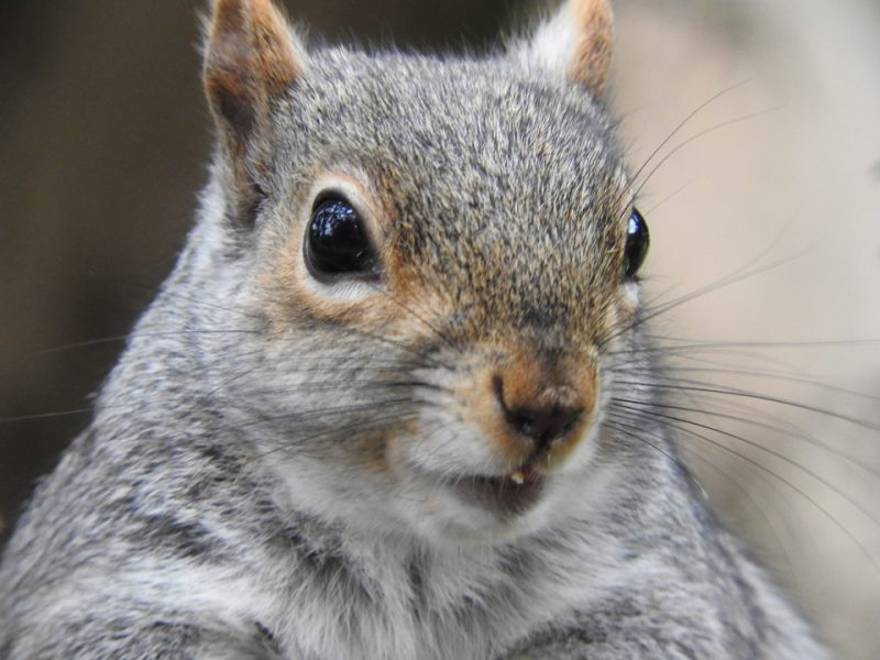 Squirrel closeup photographed by Francesca Glover