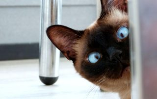 face of Siamese cat looking around the corner of a door