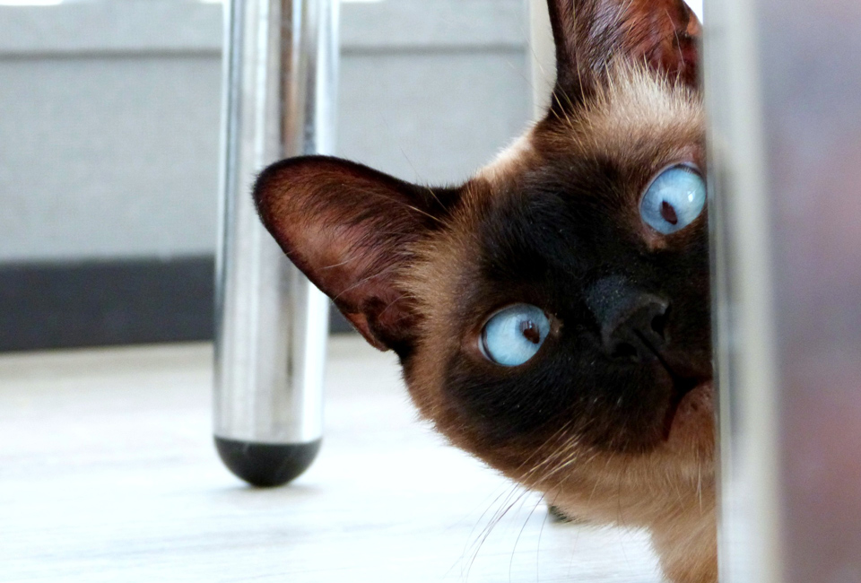 face of Siamese cat looking around the corner of a door