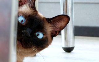 Siamese Cat looking around a door
