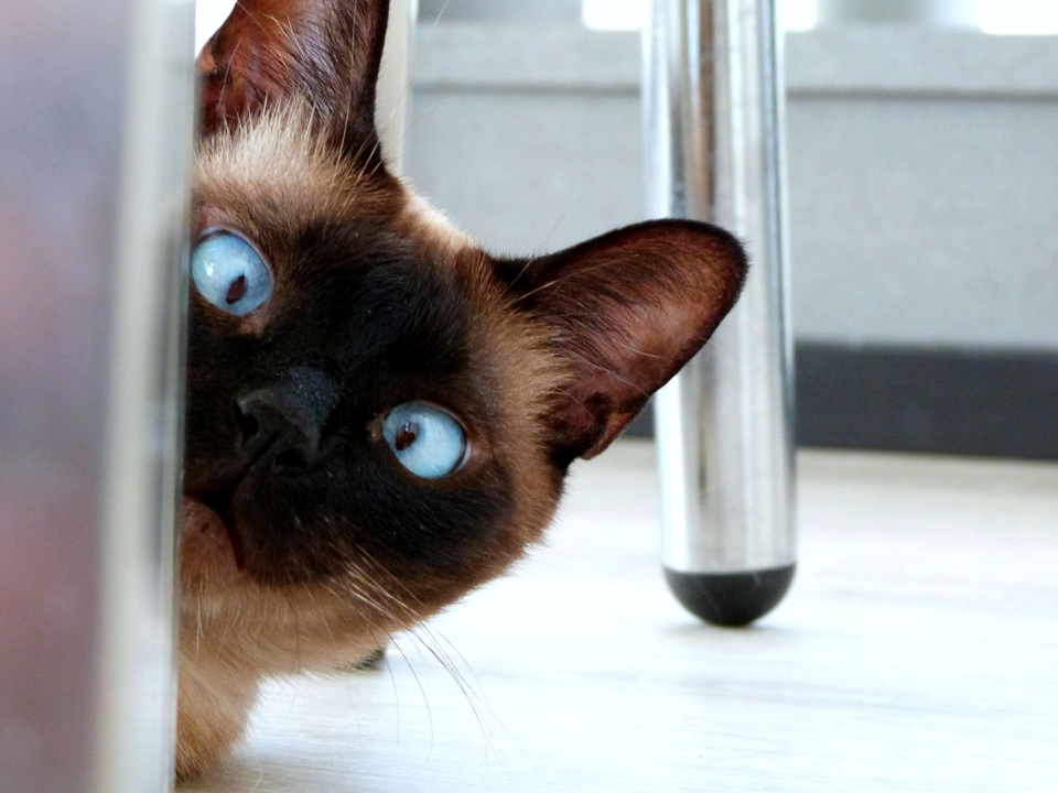 Siamese Cat looking around a door