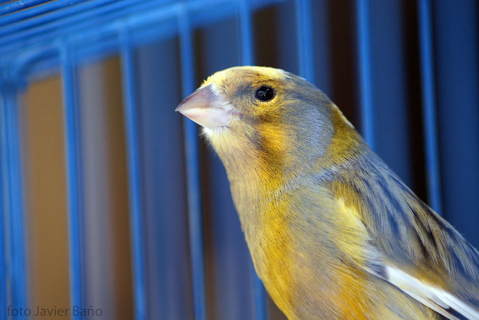 Canary in a blue cage