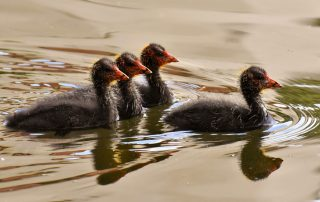 Young coots on water, one coot leading the others