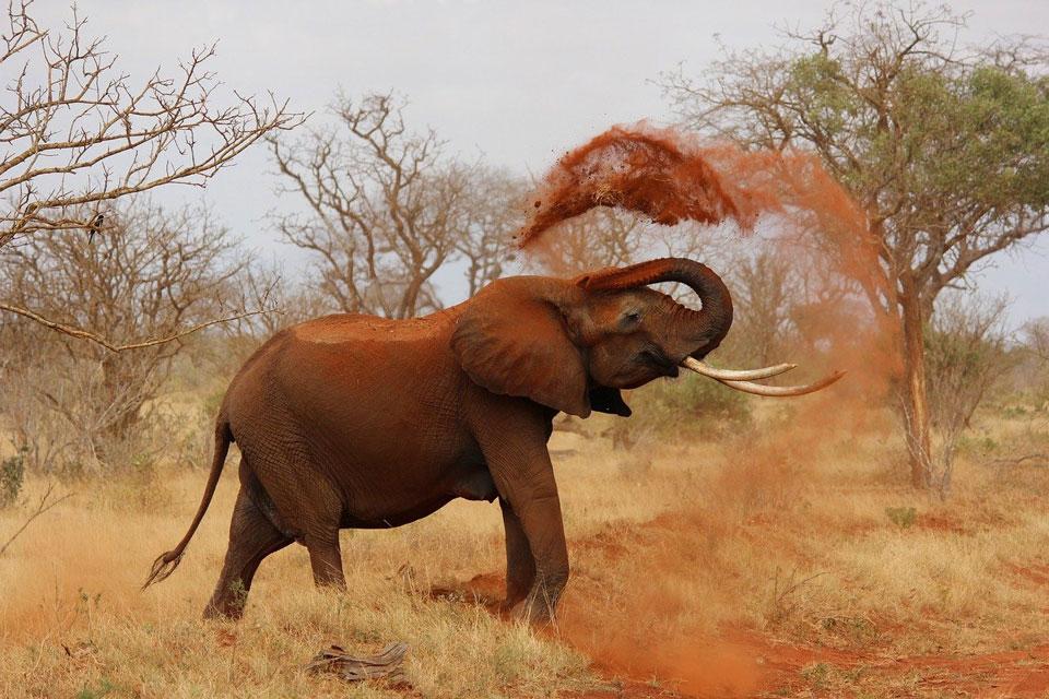 Elephant throwing dust over itself