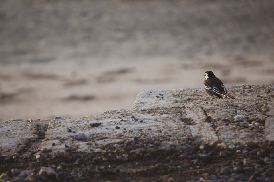 sepia image, solitary bird on a wall facing out to sea
