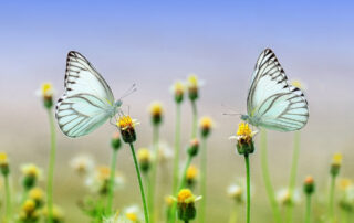 two butterfllies on a daisy